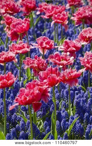 Muscari Flower And Tulip Background