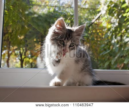 Grey And White Pet On The Sill Of A Window