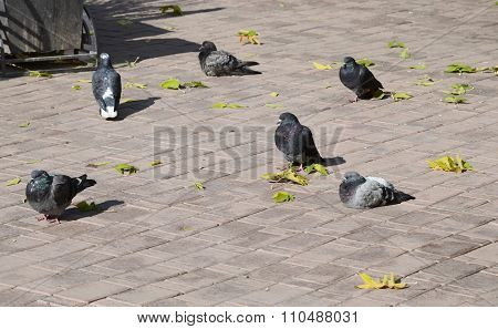 Several Pigeons Sit Among Fallen Leaves On A Sidewalk Tile