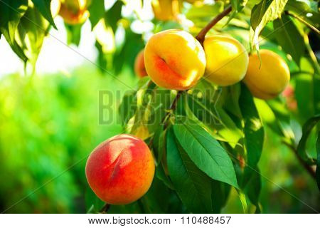 Branch of peach tree close up