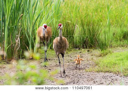 Sandhill Crane And Baby Chick