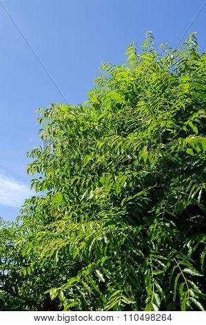 Neem plan tree in garden