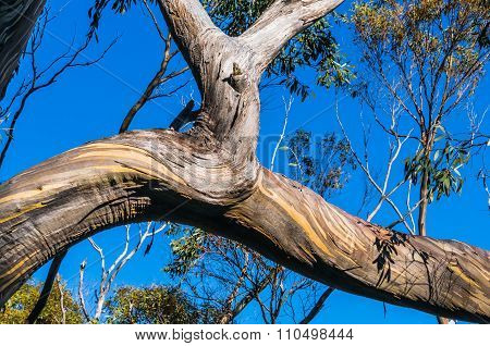 Beautiful Eucalyptus tree trunks against blue sky