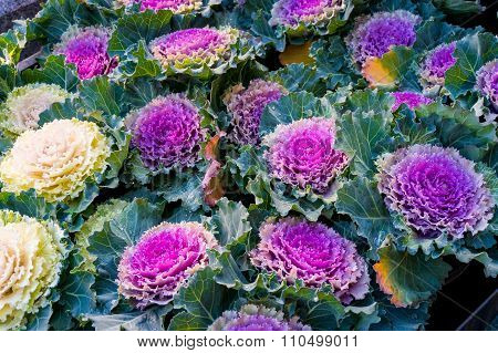 Ornamental decorative cabbage, or kale, Brassica oleracea