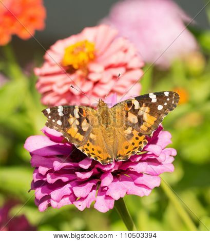 Painted Lady butterfly on a pink Zinnia in summer garden