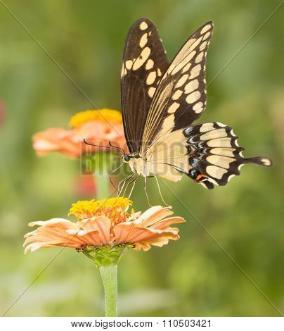 Giant Swallowtail butterfly feeding on a flower in summer garden