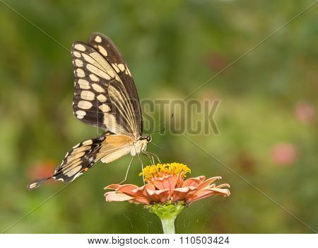 Beautiful Giant Swallowtail butterfly on a light orange Zinnia flower