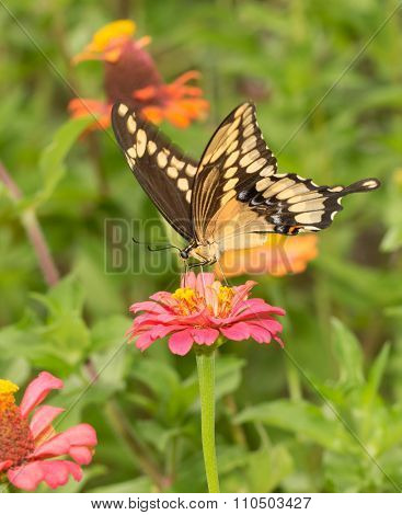 Beautiful Papilio cresphontes, Giant Swallowtail butterfly, on a pink Zinnia