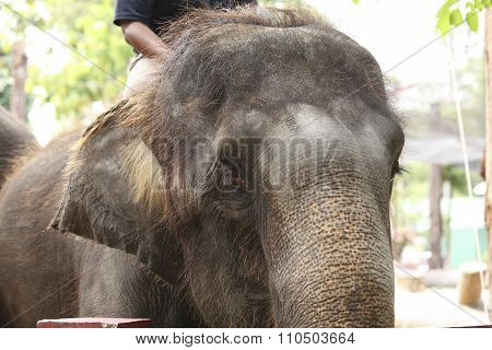 : Man ride a elephant in showing presentation