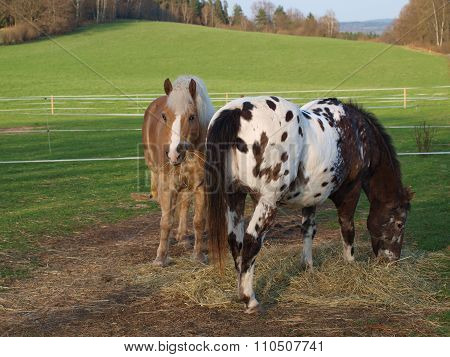 Brown And Piebald Horse Eating Hay