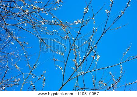 Willow blossom. Early spring.