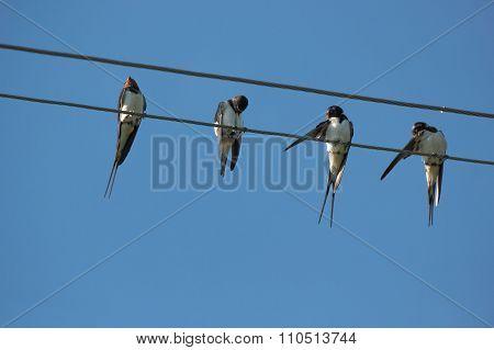 Group of barn swallows.