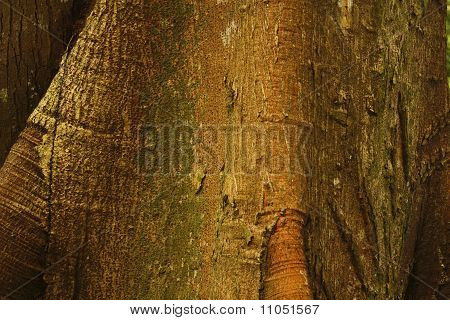 Detail Of Ceiba, Tropical Tree, Background