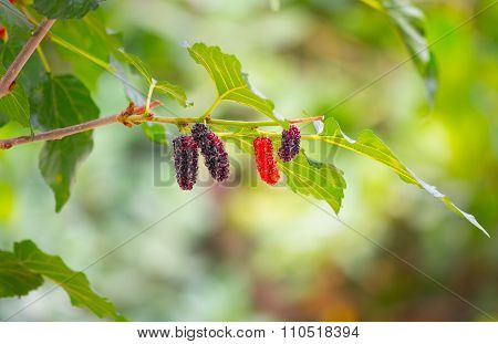 Black ripe and red unripe mulberries on the branch