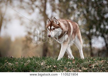 brown siberian husky dog