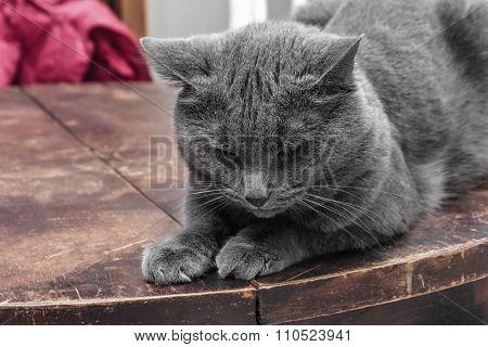 Brooding Grey Cat