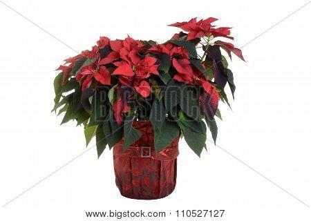 Isolated poinsettia plant