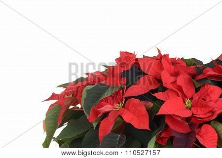 poinsettia plant with copy space