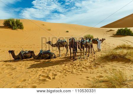 Berber is preparing a caravan of camels
