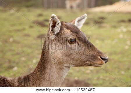 Wild meadow doe