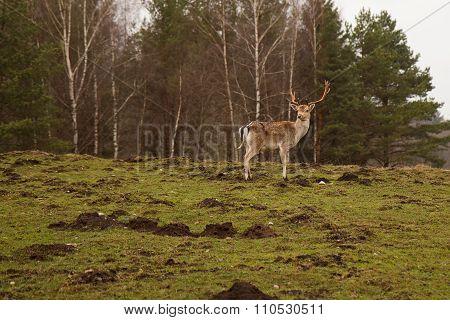 Wild forest deer