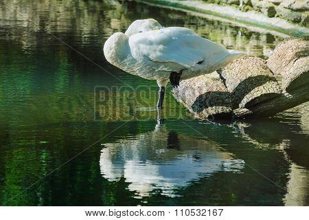 Sleeping White Swan