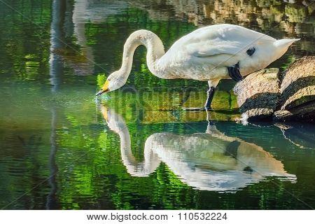 Swan Drinks Water