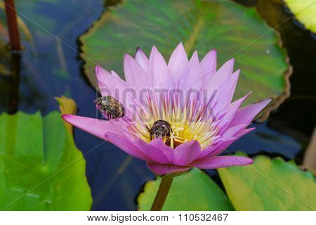 Pink lotus flowers with yellow stamens Lampedusa sill less pretty in a water bath.