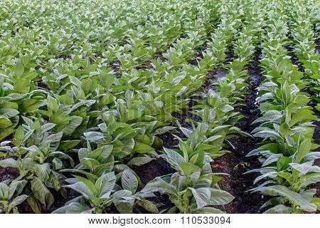 Tobacco Field From North Of Nicaragua, Estelí