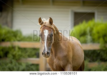 Chestnut Arab Horse Portrait In Paddock