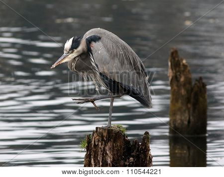 Great Blue Heron Balancing