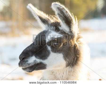 Llamas Head Close Up