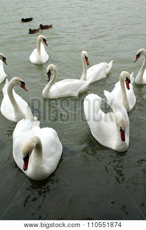 White Swans Floats On The Water