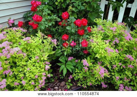 Red Roses and Japanese Spiraea