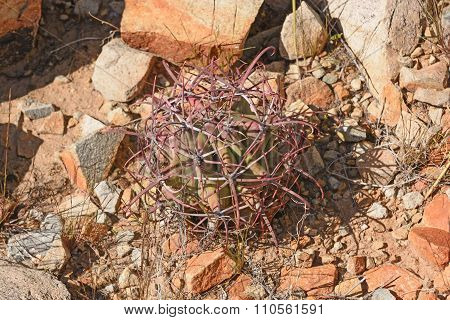 Small Emory Barrel Cactus In The Desert