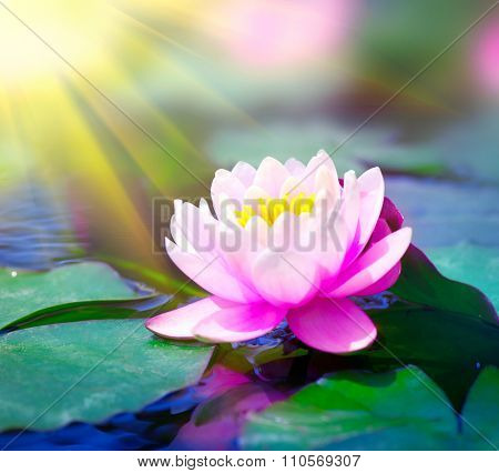 Water lily closeup in a pond. Lotus flower. Waterlilly. Waterlillies in water