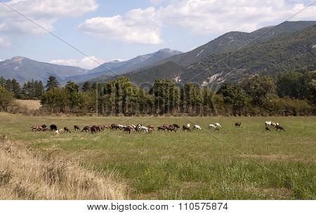 Rural landscape with Grazing Goats