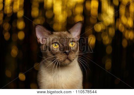 Closeup Portrait Burmese Cat On Happy New Year Background