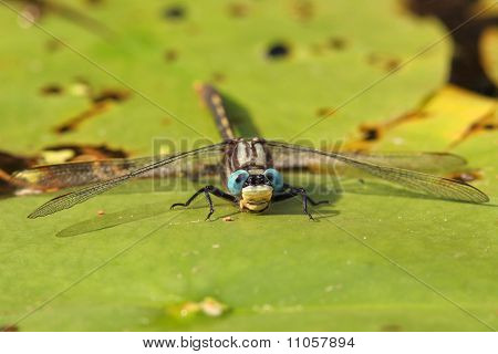 Dragonfly on a water lily - Pinery Provincial Park