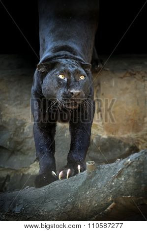 Close Black Leopard