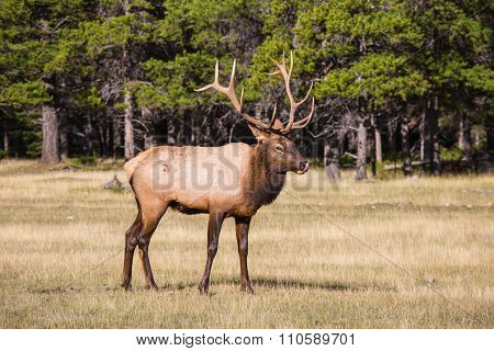 Fairy-tale deer antlered on the edge of pine forest. Autumn day in the Rocky Mountains of Canada