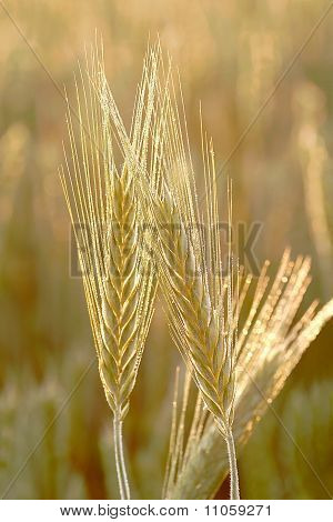 Close-up of wheat ear
