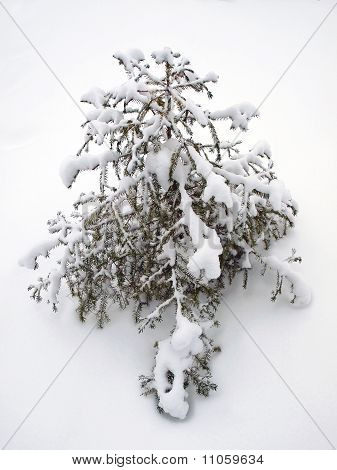 Isolated winter fir tree