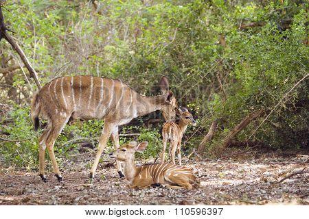 Nyala family In Kruger National Park