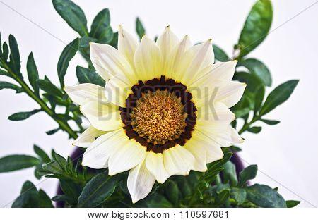 white gazania flower