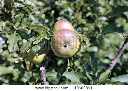 Juicy Apples On A Branch Columnar Apple Trees