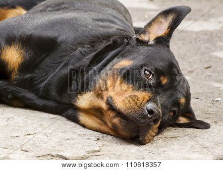 dog breed Rottweiler stares
