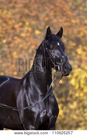 black horse portrait outside with colorful autumn leaves in background