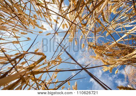 Wheat field against lovely summer blue sky with clouds