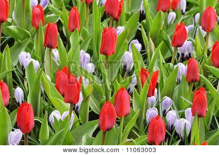 Red tulips and purple/white crocusses in The Keukenhof